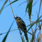 Vogel Azoren
